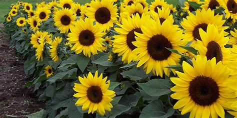 How To Plant And Care For Sunflowers  Bunnings Warehouse