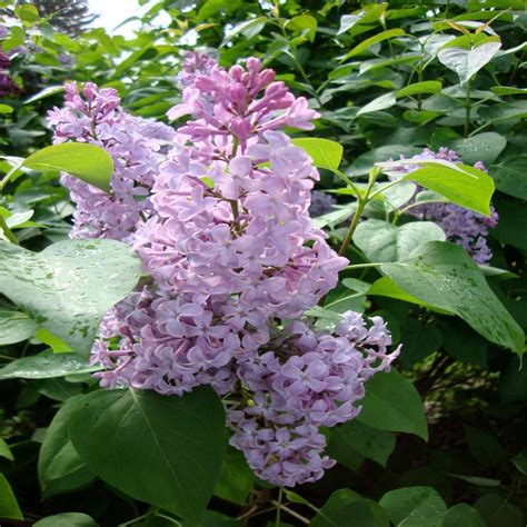 common flowering shrubs onlineplantcenter 3 gal common purple lilac shrub s4173g3 the home depot