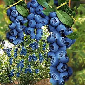 Wann Heidelbeeren Pflanzen : trauben heidelbeere 39 blue berry 39 online kaufen bei ahrens sieberz ~ Orissabook.com Haus und Dekorationen