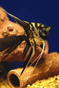Aquarium Size Chart Angelfish Also Called Freshwater Angelfish