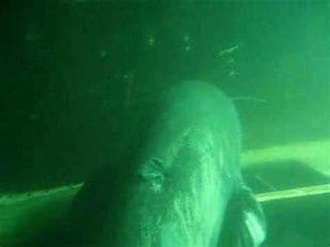 huge catfish  lake youtube