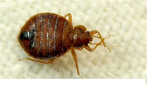Do Bed Bugs Hop by Bed Bugs Invade Apex Pest