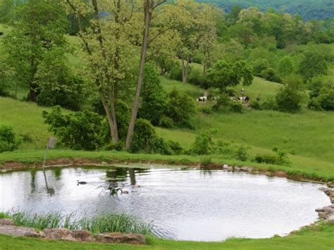 pond background pond with ducks and cows in the background photo de
