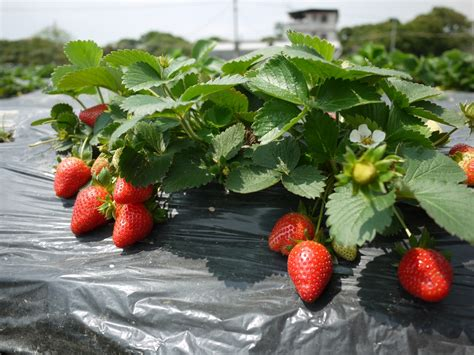 strawberry gardening strawberry garden in fanling 粉嶺士多啤梨園 kiss the nature