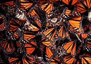 Tech Professors Talk Monarch Butterfly Conservation  U2014 The