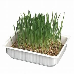 Herbe à Chat : herbe chat faire pousser pour chat ~ Melissatoandfro.com Idées de Décoration