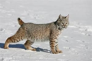 Bobcat | Animalia | Pinterest | Bobs, Domestic cat breeds ...