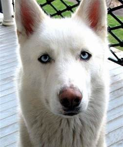 White German Shepherd Wolf Mix Puppy Photo - Happy Dog Heaven