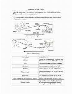 Nervous System Worksheet High School Lovely Nervous System