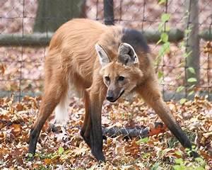 File:Maned Wolf 11, Beardsley Zoo, 2009-11-06.jpg ...