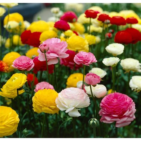 bloomsz ranunculus mix flower bulbs 12 pack 08456 the
