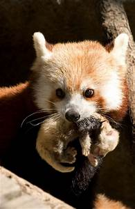 BiodiversityNews: Baby Red Panda Born at National Zoo