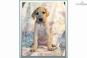Meet Sahara a cute Great Dane puppy for sale for $700 ...