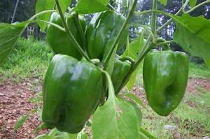Bell Pepper Growing in Kitchen Garden