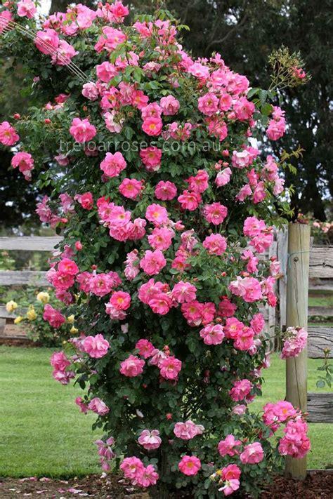 Climbing Rose Bushes  Treloar Roses  Climb Manita
