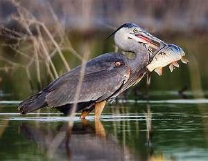 Gawking at the Great Blue Heron | Missouri Department of ...