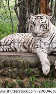 Bengal White Tiger Lying Down Green Stock Photo (Royalty ...