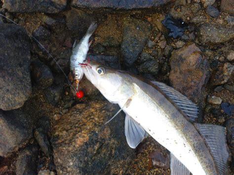 comment cuisiner un sandre techniques pour la pêche du sandre