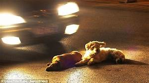 Loyal dog risks his life on busy Dazhi road to help four ...