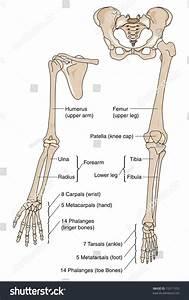 Human Limb Bones Labeled Stock Illustration 15311335