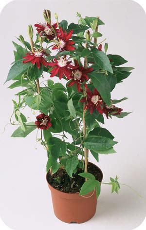 kamerplant met rose bloemen passiflora lady margaret een passiebloem met rode