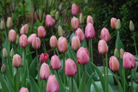 tulip pictures tulip flower pictures flowers for flower lovers pink tulips flowers