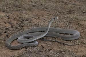 Black Mamba Bite Victims | www.pixshark.com - Images ...