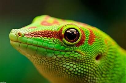 Gecko Phelsuma Madagascariensis Wallpapers Lizard 4k Geckos