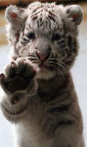 Baby White Tiger Wallpaper - WallpaperSafari