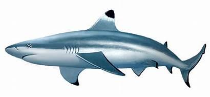 Reef Shark Sharks Tip Blacktip Goblin Diving