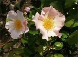 Alte Rosensorten Stark Duftend : rosensorten duftrosen pi piano picasso piccadilly ~ Michelbontemps.com Haus und Dekorationen