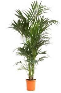 plante exotique int 233 rieur kentia howea forsteriana palmier d int 233 rieur 187 c 244 t 233