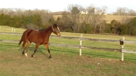 horse quarter jumping gelding barney