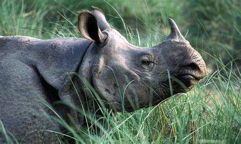 Nepals Population Of Greater One Horned Rhinos Is