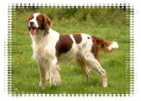 irish red and white setter puppies breeders setters
