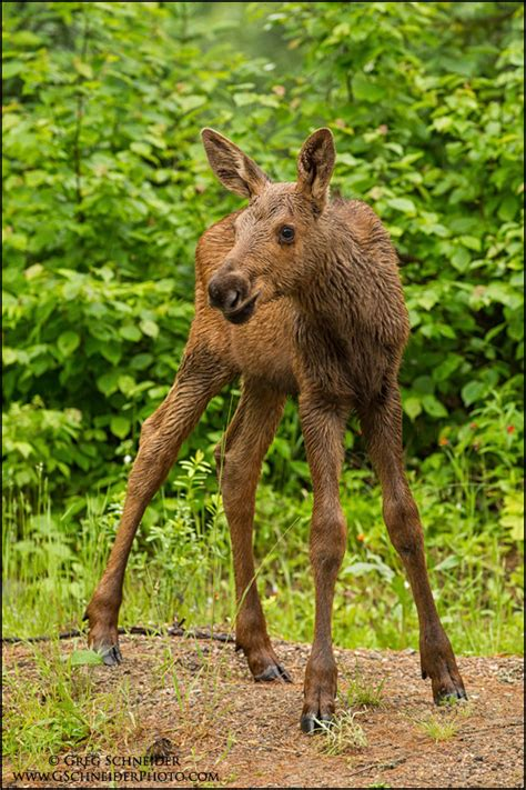 moose calf standing   rain