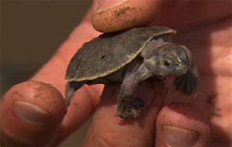jean michel cousteau ocean adventures turtles take the
