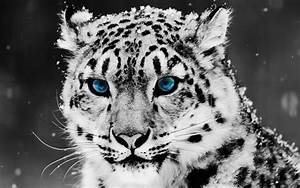 Snow Leopard Blue Eyes HD Wallpaper | Animals Wallpapers