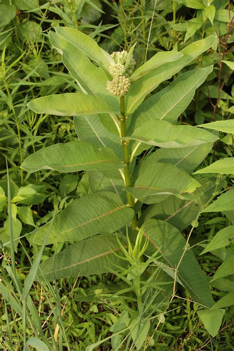 milkweed plants for a garden of antietam milkweed seeds 7504