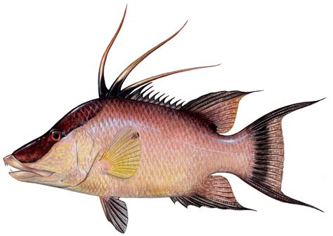 hogfish fish decal decals stix sticker stickers fishstix peebles diane saltwater catalog