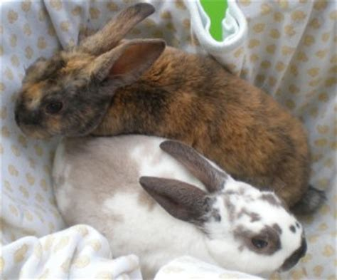 flemish giant rabbits  sale