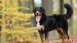 Berner Sennenhund Gewicht : berner sennenhund hunde ~ Markanthonyermac.com Haus und Dekorationen