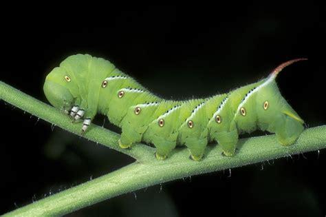shining light   tomato hornworm  washington post