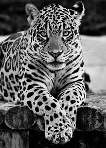 Jaguar Nice : jaguar black and white animals pinterest ~ Gottalentnigeria.com Avis de Voitures