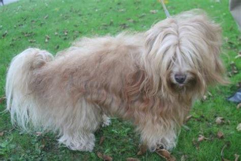 bichon havanais chien de soie de la havane l avis du v 233 t 233 rinaire choisir chien