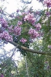 cape lilac tree   hurry grow