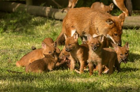playful dhole pups  howletts wild animal park zooborns