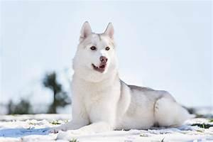 Siberian Husky   Dogs   Breed Information   Omlet