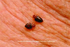 learn how to remove bed bugs in your home With bugs that get in your bed