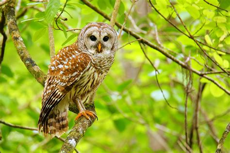 Learn More About Barred Owls And Listen To Their Famous Call